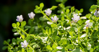 Adaptogen Highlight: Bacopa for the Brain and More
