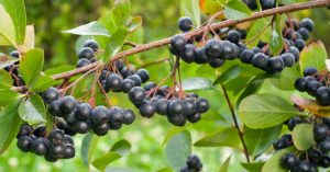 Aronia: A Berry You Need To Know About