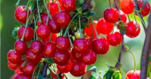 Supporting Muscle Recovery with Tart Cherry Antioxidants